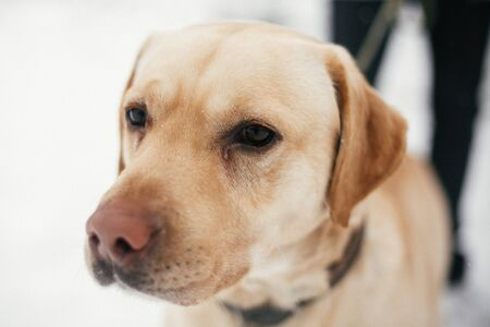 Cute golden labrador portrait with sad eyes walking in snowy winter park. Mixed breed labrador on a walk with person at shelter. Adoption concept. Stray dog Stock Photo