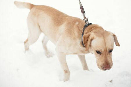 Cute golden labrador walking with owner in snowy winter park. Mixed breed labrador on a walk with person at shelter. Adoption concept. Stray dog Stock Photo