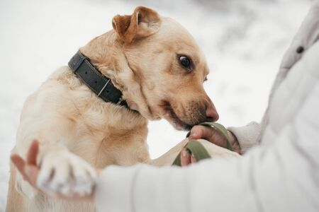 Cute golden labrador sniffing person hands in snowy winter park. Mixed breed labrador on a walk and smelling people at shelter. Adoption concept. Stray dog Stock Photo