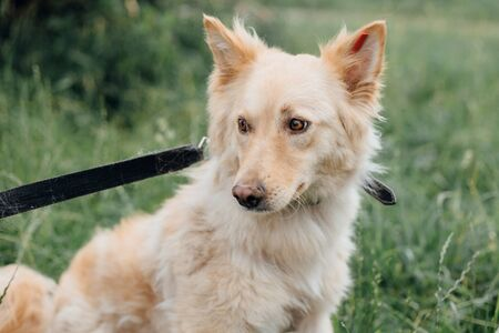 Cute fluffy scared dog walking in green grass in summer park. Adorable mixed breed puppy with big fur on a walk at shelter. Adoption concept. Stray foxy dog