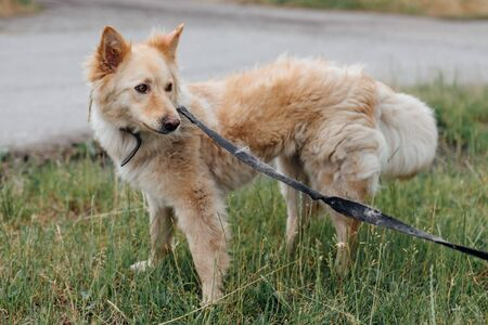 Cute fluffy yellow dog walking in green grass in summer park. Adorable mixed breed puppy with big fur on a walk at shelter. Adoption concept. Stray foxy dog