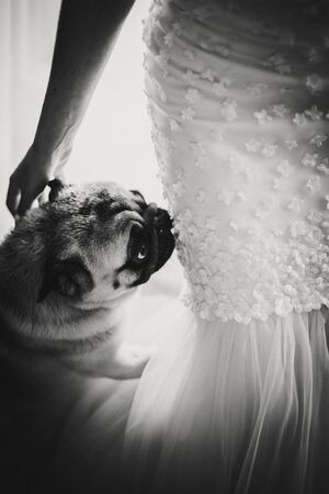 Cute pug dog in bow tie looking at bride in stylish wedding dress in soft light near window in hotel room. Gorgeous bride with her pet. Morning preparation before wedding ceremony