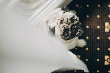 Cute funny pug dog with bow tie looking up from white tulle at window at morning preparations of family before wedding ceremony. Pets at wedding day. 스톡 콘텐츠