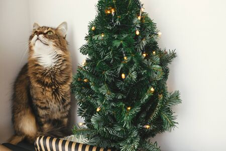 Tabby cat with green eyes sitting with funny emotions at christmas tree with lights.  Maine coon relaxing at wrapping festive paper under christmas tree. Winter holidays Stock Photo