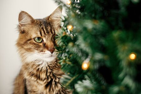 Maine coon cat with green eyes sitting at little christmas tree with lights. Cute kitty relaxing under festive christmas tree. Winter holidays. Pet and holiday 版權商用圖片