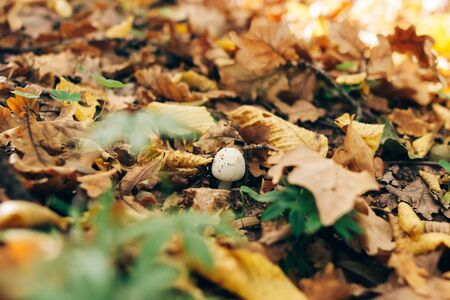 Russula mushroom in green grass and autumn leaves in sunny woods. Mushroom hunting in autumn forest. Russulaceae. Fungi