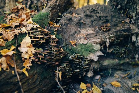 Mushrooms on stump with green moss and autumn leaves in sunny woods. Mushroom hunting in autumn forest. Psathyrella piluliformis. Gilled fungi 스톡 콘텐츠
