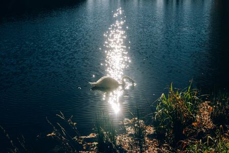 Graceful swan swimming in blue water in sparkle sunlight in morning. Beautiful swan swimming in lake in sunny autumn woods. White wild bird Stock Photo