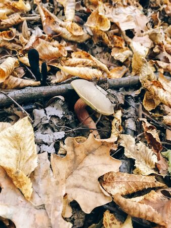 Xerocomus mushroom in autumn leaves  in sunny woods. Picking mushrooms in forest. Fungi with fall leaves. Copy space. Mushroom hunting. 写真素材