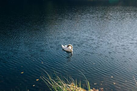 Beautiful swan swimming in lake in sunny autumn woods. Graceful swan swimming in blue water in sparkle sunlight in morning. White wild bird