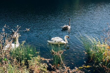 Beautiful swan family swimming in lake in sunny autumn woods. Graceful swans swimming in blue water in warm sunlight in morning. White wild birds Stock Photo