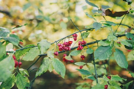 Beautiful pink berries on branch in autumn woods. Spindle. Euonymus europaeus. Poison ripe berries with green leaves on bush in forest