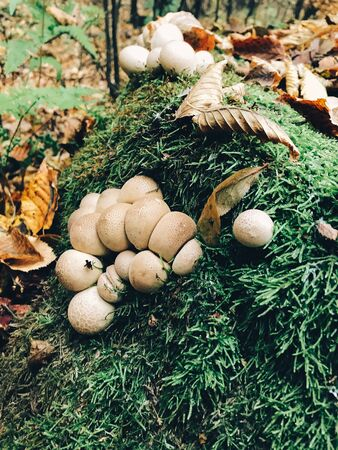 Stump puffball, little mushrooms in stump in green moss and fall leaves in autumn woods. Lycoperdon pyriforme. Fungi Stock fotó
