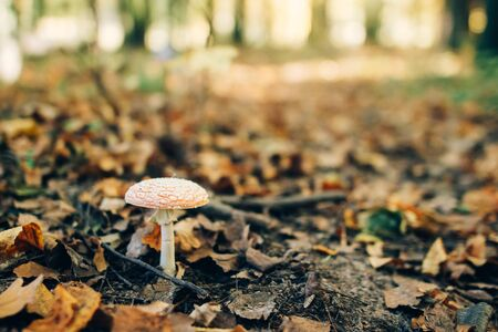 Fly agaric mushroom in autumn leaves in sunny woods. Mushroom hunting in autumn forest. Amanita muscaria. Poisonous fungi. Copy space