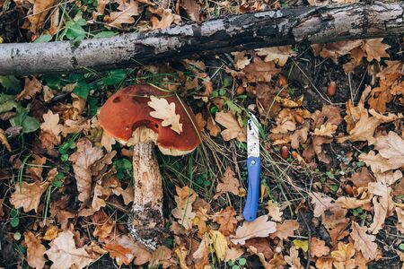 Mushroom hunting. Leccinum aurantiacum mushroom and knife in autumn leaves on ground in sunny woods, top view. Picking mushrooms in forest. Leccinum.