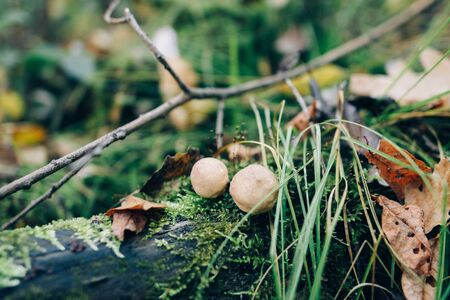 Stump puffball, little mushrooms in stump in green moss and grass in autumn woods. Lycoperdon pyriforme. Fungi Stock fotó