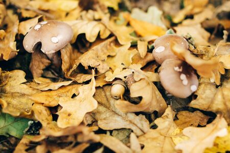 Viscid violet cort mushroom in autumn leaves with acorn in sunny woods. Mushroom hunting in autumn forest. Cortinarius iodes.  Fungi 写真素材