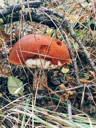 Big leccinum aurantiacum mushroom in autumn leaves and grass in  sunny woods. Picking mushrooms in forest. Leccinum with fall leaves. Copy space. Mushroom hunting