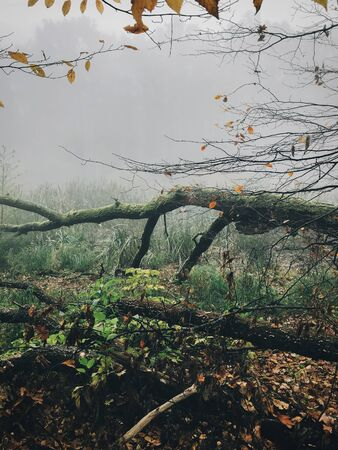 Old fallen trees with moss in foggy autumn woods near lake in cold autumn morning. Mist  in forest. Tranquil moment. Hello fall. Autumn background. Atmospheric morning