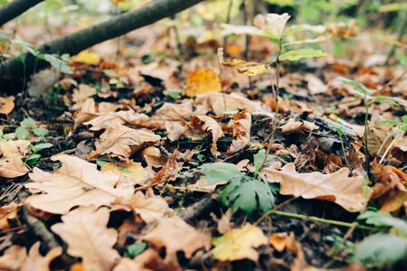 Autumn leaves. Beautiful fall yellow and brown leaves on ground in forest. Autumnal background. Oak tree leaf