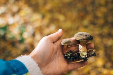 Hand holding edible mushrooms in autumn woods. Picking mushrooms in forest. Xerocomus in hand on background of sunny woods and fall leaves.