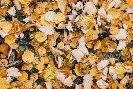 Autumn leaves. Beautiful fall yellow leaves  on ground in forest, top view. Autumnal background. Populus tremula leaf