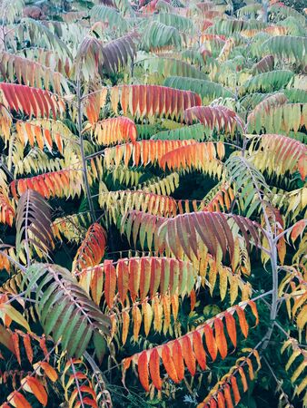 Beautiful staghorn sumac colorful tree in autumn woods. Rhus typhina. Red, yellow and green colorful branches on tree in morning forest Zdjęcie Seryjne