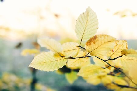 Autumn leaves on tree branch in sunny woods. Beautiful yellow hornbeam leaves on branches in fall. Autumn forest. Tranquil moment. Copy space Zdjęcie Seryjne