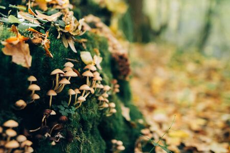 Mushrooms on stump with green moss and autumn leaves in sunny woods. Mushroom hunting in autumn forest. Hypholoma fasciculare. Gilled fungi