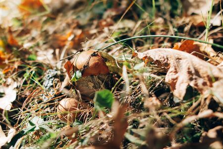 Leccinum aurantiacum mushrooms in autumn leaves and grass in  sunny woods. Picking mushrooms in forest. Leccinum with fall leaves. Copy space. Mushroom hunting