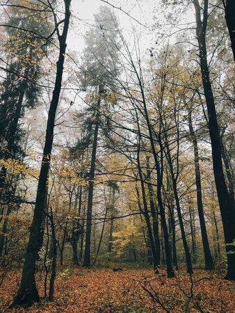 Autumn foggy woods with fall leaves in cold morning. Mist in autumn forest with yellow leaves. Tranquil moment. Atmospheric morning. Hello fall