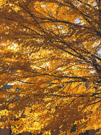 Beautiful tree with yellow autumn leaves in sunny light. Fall leaves on tree in sunny warm city street. 免版税图像
