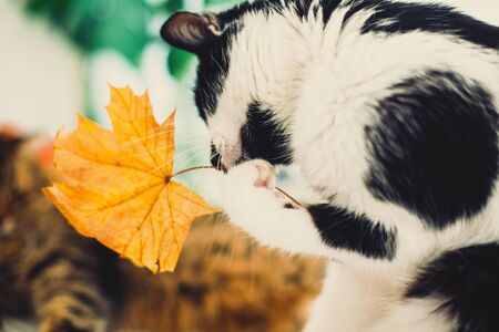 Cute cat playing with autumn leaves with paw, sitting on rustic table with cat friend and pumpkins. Black and white funny kitty catching yellow leaf. Thanksgiving or Halloween 免版税图像