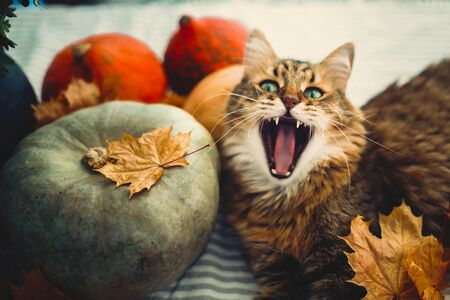Cute Maine coon cat yawning with funny expression, lying in autumn leaves on rustic table with pumpkins. Adorable tabby cat with green eyes playing with leaves. Thanksgiving or Halloween