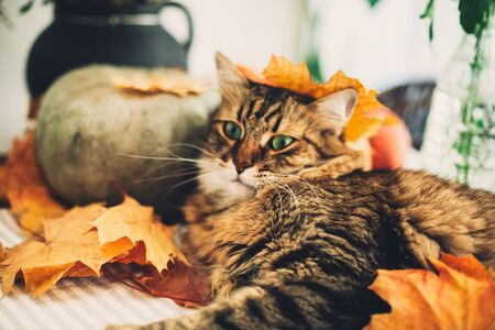Cute Maine coon cat playing with autumn leaves, lying on rustic table with pumpkins. Thanksgiving or Halloween concept. Adorable tabby cat with green eyes and funny emotions in yellow leaves