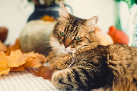Cute tabby cat with angry look lying on rustic table with autumn leaves and pumpkins. Thanksgiving or Halloween concept. Maine coon with green eyes playing with yellow leaves. 免版税图像