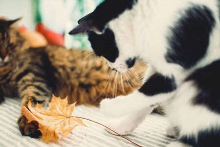 Cute cat playing with autumn leaves, sitting on rustic table with cat friend and pumpkins. Black and white funny kitty catching with paw yellow leaf. Thanksgiving or Halloween