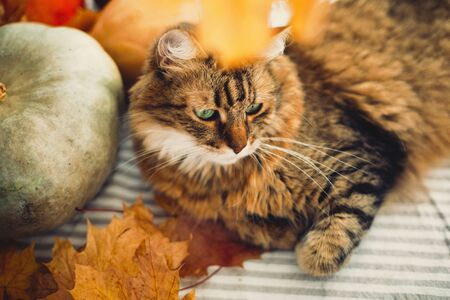 Cute tabby cat lying on rustic table with autumn leaves and pumpkins. Thanksgiving or Halloween concept. Maine coon with green eyes playing with yellow leaves. Pet and holidays.