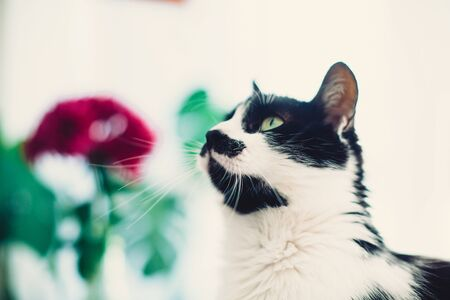 Cute cat looking with green eyes, sitting on rustic table on background of white window and plants. Black and white funny kitty  with interested look 免版税图像