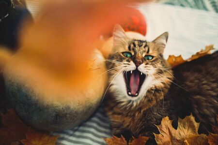 Cute tabby cat yawning, lying in autumn leaves on rustic table with pumpkins. Maine coon with green eyes and funny emotions playing with yellow leaves. Thanksgiving or Halloween concept