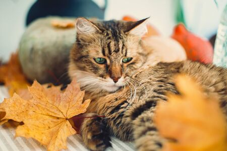 Cute tabby cat playing with autumn leaves, lying on rustic table with pumpkins. Thanksgiving or Halloween concept. Maine coon with green eyes and funny emotions playing with yellow leaves