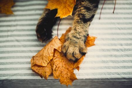 Cute tabby cat paw catching yellow autumn leaves on rustic table, top view. Adorable maine coon cat playing with fall leaves, paw and leaf close up. Hello autumn. 免版税图像