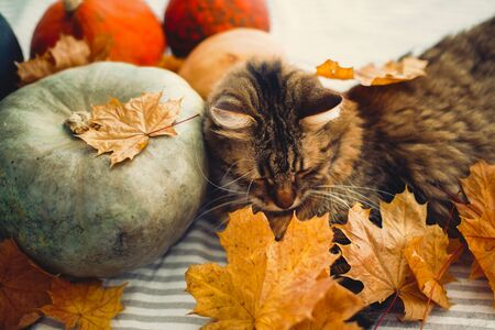 Cute Maine coon cat playing with autumn leaves, lying on rustic table with pumpkins. Thanksgiving or Halloween concept. Adorable tabby cat with funny emotions in yellow leaves