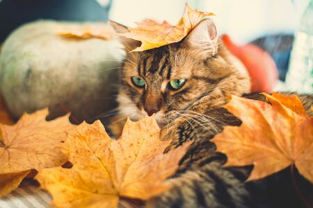 Cute Maine coon cat playing with autumn leaves, lying on rustic table with pumpkins.  Adorable tabby cat with green eyes and funny interesting look . Thanksgiving or Halloween concept