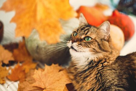 Maine coon with green eyes playing with yellow leaves. Cute tabby cat lying on rustic table with autumn leaves and pumpkins. Thanksgiving or Halloween concept.  Pet and holidays. 免版税图像