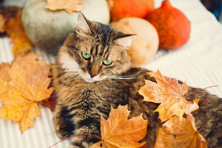 Angry Maine coon cat playing with autumn leaves, lying on rustic table with pumpkins. Thanksgiving or Halloween concept. Adorable tabby cat with green eyes and funny emotions in yellow leaves