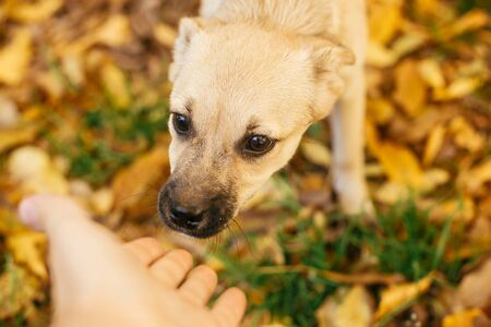 Cute scared dog walking next to volunteer in autumn park. Adoption from shelter concept. Mixed breed little yellow dog. Hand caressing sweet dog in shelter with sad look Banco de Imagens - 137965517