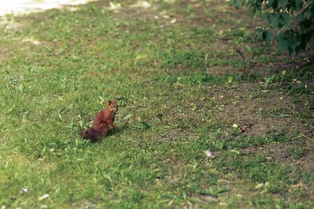 cute little squirrel on grass in city park, space for text, protect the environment