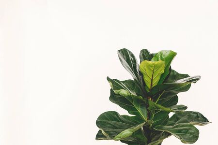 Ficus Lyrata. Beautiful fiddle leaf tree leaves on white background. Fresh new green leaves growing from fig tree, close up. Copy space. Houseplant. Plants in modern interior room Archivio Fotografico
