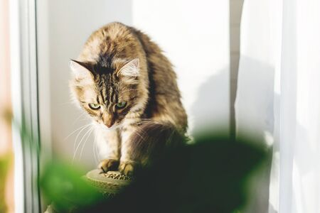 Cute tabby cat sitting on window sill in warm sunny light among green plants. Adorable Main coon looking at window on street. Isolation at home during coronavirus pandemic concept